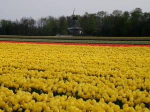 Flowers and a mill at Keukenhof